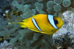 Anenome Fish, Ras Katy Nikon D80 60mm by Alan Fryer