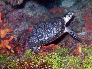 Beautifully hidden under a coral ledge. by Cheri Denn