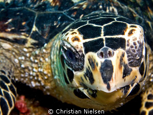 Hawksbill close-up.