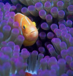 Really purple!  Taken in Fiji w/Nikon N90s, Aquatica hous... by Beverly Speed