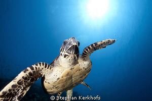 Hawksbill turtle taken in full flight behind Thomas Reef. by Stephan Kerkhofs