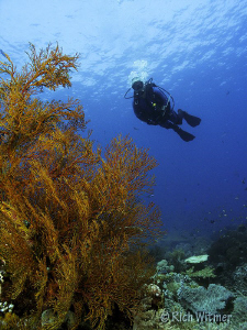 Diver and Sea Fan.  G9/DS160s/Olympus Wide Angle Lens. by Richard Witmer