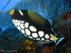 Clown Triggerfish (Balistoides conspicillum), Canon G9 (i... by Brian Mayes
