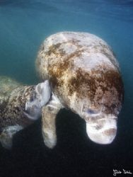 Manatee nurses her child
