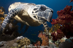 Hawksbill turtle up close and personal! by Stephan Kerkhofs