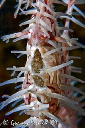 A very pregnant ornate ghost pipe fish tummy showing off ... by Gurney Fermin