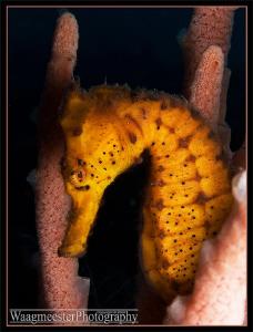 Common Seahorse (Hippocampus taeniopterus) - Seraya, Bali... by Marco Waagmeester
