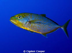 Yellowspotted trevally by Cigdem Cooper