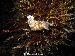 A nudibranch from Komodo by Mehmet Kunt