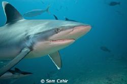 Silvertip reef shark taken in Beqa Channel, Fiji.  During... by Sam Cahir