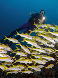 """""""School of Yellowfin goatfishes with Diver""""  Shot from ... by Henry Jager"""