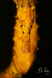 Yellow Seahorse in Sydney Harbour by Julian Cohen