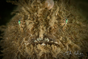 Striated Frogfish by Julian Cohen