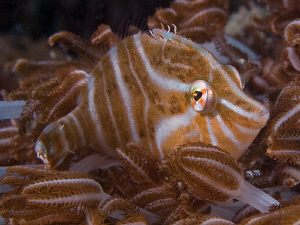 Radial Leatherjacket. East of Dili, East Timor by Doug Anderson