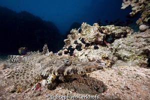 Crocodilefish taken in Shark's Bay. by Stephan Kerkhofs