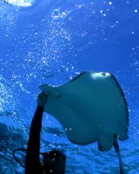 I took this upward shot of a diver feeding a stingray at ... by Robyn Churchill