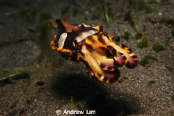 Flamboyant cuttlefish