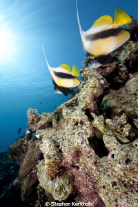 Couple of Bannerfish at Shark's Bay. by Stephan Kerkhofs