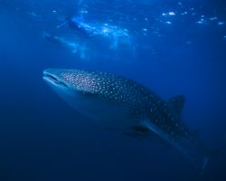 Whale shark in Mahé - Seychelles  by Viora Alessio