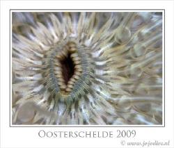 Sagartia troglodytes is so common in our waters, that mos... by John De Jong