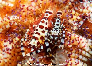 Coleman shrimp family Nikon D200 , 60 micro, twin strobo... by Marchione Giacomo