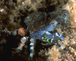 Strange blue crab carrying stinging anemone on his back. ... by Viora Alessio