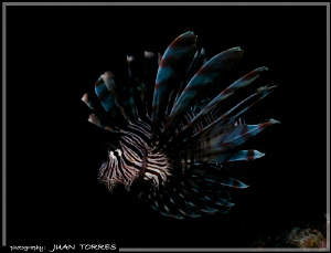 A LionFish, although an invader in these waters, still ma... by Juan Torres