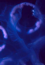 Black Hole - This macro shot of a Moon Jellyfish looks li... by Pauline Jacobson