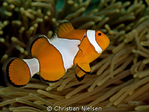 Clownfish shot in Gamat Bay, Nusa Penida.