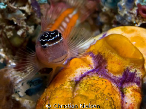 """Blenny resting. I like the """"smile"""" on this little fish.... by Christian Nielsen"""