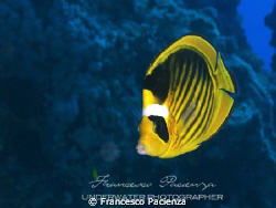 Butterfly semimasked fish by Francesco Pacienza