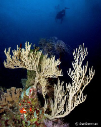 A diver floats over soft corals in Utila by Susan Beerman