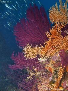 Colourful gorgonian. Calanques de Cassis. Canon G10 & Ino... by Bea & Stef Primatesta