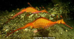 couple weedy sea dragon by Andre Rhonnie