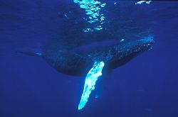 Humpback whale calf. This photo was taken in the Silver ... by David Gallardo