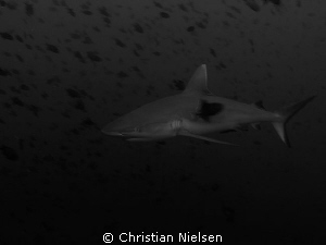 Grey Reef Shark and a zillion Redtooth Triggerfish.