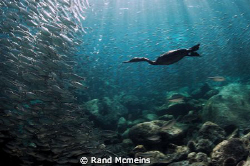 Cormorant hunting baitfish in the Sea of Cortez. Mexico by Rand Mcmeins