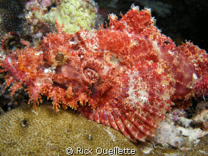 Beautifull but deadly stonefish waiting in camo to ambush... by Rick Ouellette