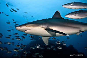 Pregnant Silvertip Shark, shot in Beqa Lagoon whilst on t... by Sam Cahir