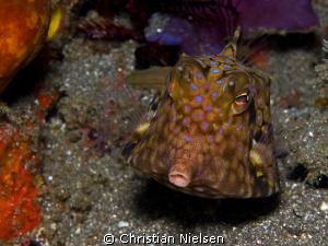 Thornback Cowfish, Horseshoe Bay, Komodo Olympus E330, 5... by Christian Nielsen