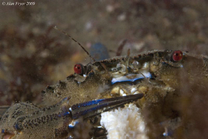 Velvet Swimming Crab, Night Dive at Menai Straits, North ... by Alan Fryer
