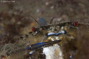 Velvet Swimming Crab, Night Dive at Menai Straits, North ... by Alan Fryer