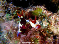 Mating of Nudibranch by Jagwang Koo