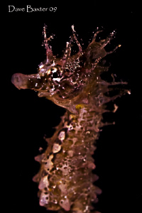 little babe short head seahorse feeding by Dave Baxter