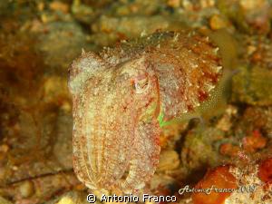 sepia officinalis by Antonio Franco