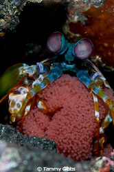 Mantis shrimp with eggs at Tulamben, Bali, Indonesia. by Tammy Gibbs