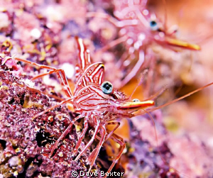 coral bay shrimp by Dave Baxter