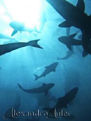 Scubadive at a Beijupirá´s fish open water farm. by Alexandro Auler