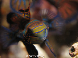 Mandarin fish at Lembeh by Victor Wong