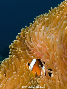 Always a favourite, a clownfish :-)